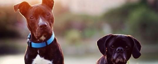 Mixed breed vs pure bred